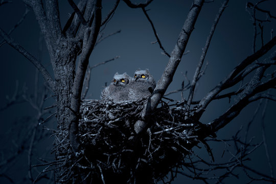 Great horned owlets in nest at night