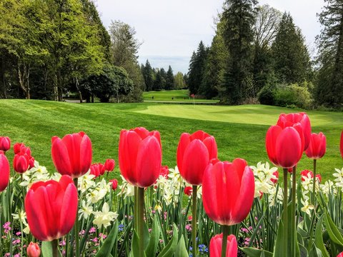 A beautiful view of a golf course with a green surrounded by evergreen forest in the background, and a garden of red tulips and daffodils in the foreground.