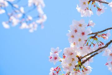 Fotobehang Kersenbloesem 写真素材:桜 ソメイヨシノ 満開 アップ コピースペース