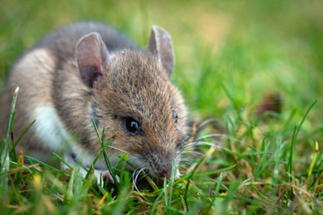 Mouse sitting in the grass