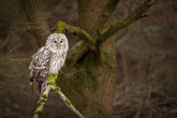 Spoed Fotobehang Uil Amazing owl sitting calmly on a tree branch covered with green moss. Peaceful and lazy looking animal, yet dangerous bird of prey. Dark autumn forest atmosphere.