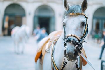 Foto op Canvas Wenen Portrait of the world famous Lipizzaner Stallion legendary White Stallions horse before show. Spanish Riding School in Vienna