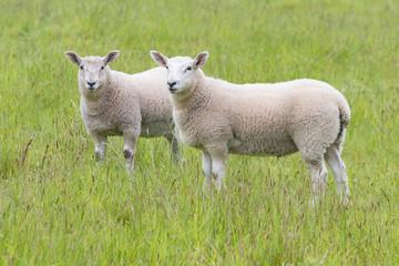Fat lambs on the farm