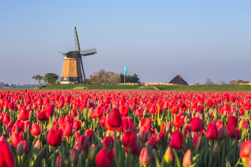 Windmill and tulips fields, Alkmaar polder, Netherlands Fototapete