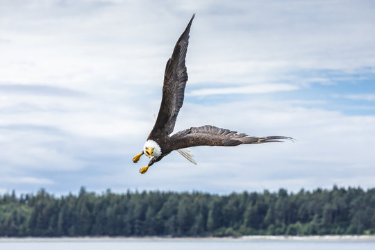 Canadian Bald Eagle (haliaeetus leucocephalus) flying in its habitat with open wings