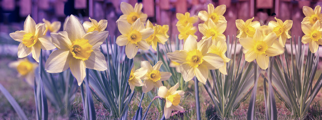 Photo sur Toile Narcisse Yellow daffodil flowers blooming in the spring
