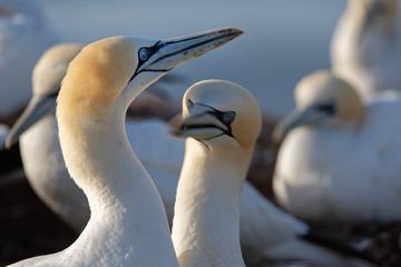Basstölpel Brutpaar beim Schnabelfechten, Helgoland