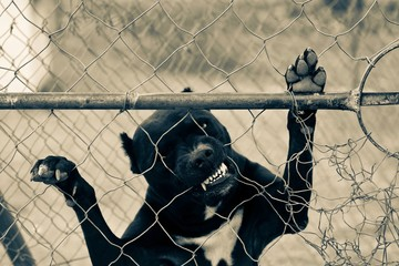 Caged Pitbull standing up against fence, biting through the wire
