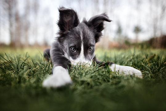 funny border collie puppy hiding nose in the grass, wide angle shot