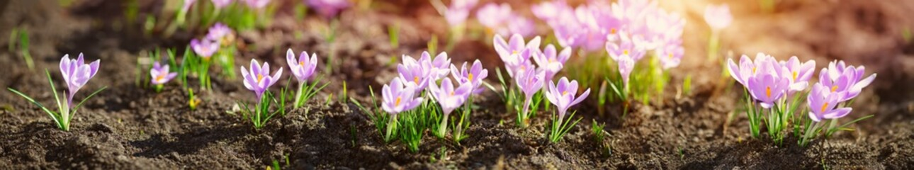 Photo sur Plexiglas Crocus Panoramic view to spring flowers in the park