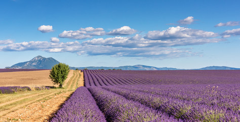 Fototapeta Lavender 59 obraz