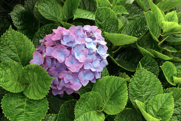Fond de hotte en verre imprimé Hortensia Huge inflorescences of pink large hydrangea (Latin Hydrangea macrophylla). Beautiful, toxic and healing flower hydrangea - a symbol of the island of San Miguel, Azores, Portugal.