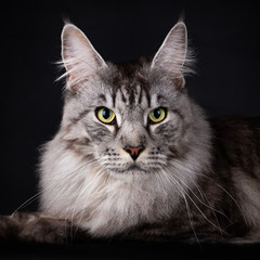 Poster Cat Head of a Handsome Black Silver Mackerel Tabby Maine Coon cat looking straight at camera, isolated on black background