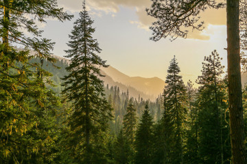 Self adhesive Wall Murals Autumn Fresh mountainous Idaho conifer forest after rain before sunset