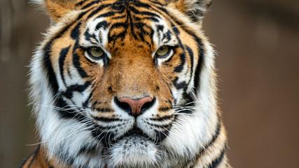 Photo sur Aluminium Tigre Sumatran tiger head shot looking just off camera