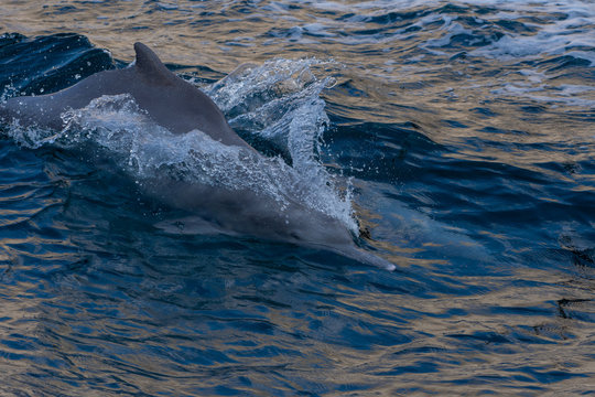 Indo-pacific humpback dolphins (sousa chinensis) in Musandam, Oman near Khasab in the Fjords jumping in and out of the water by Dhow Boats.