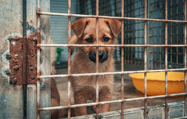Fototapeta Sad puppy in shelter behind fence waiting to be rescued and adopted to new home. Shelter for animals concept obraz
