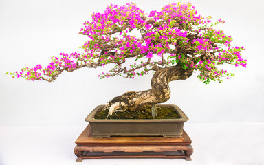 Aluminium Prints Bonsai Bonsai of plum tree isolated on white background.