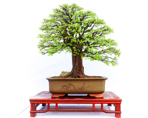 Foto op Plexiglas Bonsai Chinese bonsai tree isolated on white background.
