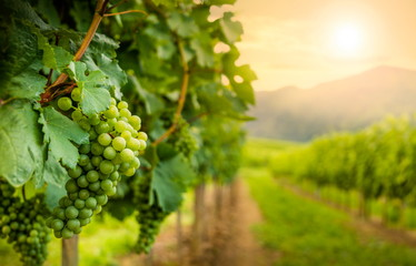 Grapes in vineyard in Wachau valley, winegrowing area, Lower Austria. Europe.