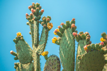 Photo sur cadre textile Cactus nopal cactus with yellow flowers