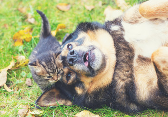Big dog with a small kitten - best friends lying on the grass in autumn. Kitten touched a dog Wall mural