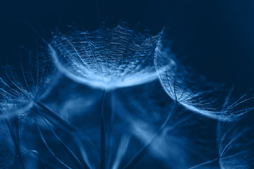 Classic Blue background. Color of the year 2020. Salsify seeds close up