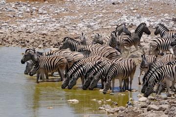 Zebras drinking at a waterhole, Etosha National Park, Namibia