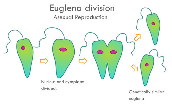 Euglena division stages. Asexual reproduction. Mitotic division. Nucleus and cytoplasm divided. Genetically similar, euglena anatomy. Biological drawing. Biology vector illustration