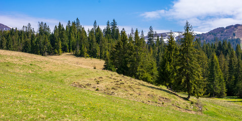 carpathian countryside springtime. coniferous trees on the grass covered rolling hills. mountain with some snow on top in the distance. sunny weather with blue sky and fluffy cloud