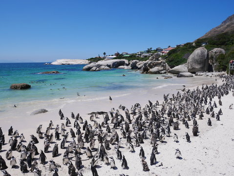 Boulder's Beach Simons Town Cap Cape Town