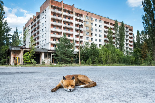 The fox being fed by tourists that has no fear of people and behaves like a dog in the ghost town of Pripyat