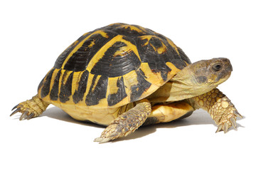Photo sur cadre textile Tortue Hermann tortoise in close-up isolated on a white background