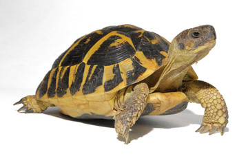 Photo sur Plexiglas Tortue Hermann tortoise in close-up isolated on a white background