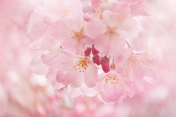 Foto op Canvas Kersenbloesem 桜(ジンダイアケボノ)