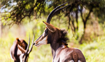 Spoed Foto op Canvas Antilope Sable antelope herd and portrait in South Africa