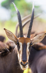 Papiers peints Antilope Sable antelope herd and portrait in South Africa