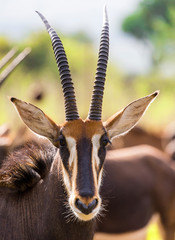 Foto op Canvas Antilope Sable antelope herd and portrait in South Africa