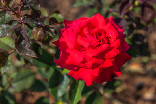Let Freedom Ring rose with water drops in the field. Scientific name: Rosa 'Let Freedom Ring'. Flower bloom Color: Red Blend