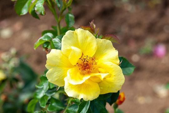 Lemon Fizz rose flower in the field. Scientific name: Rosa ' Lemon Fizz'. Flower bloom Color: Medium yellow.
