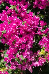 Fototapeten Rosa Bright pink bougainvillea flowers and vine