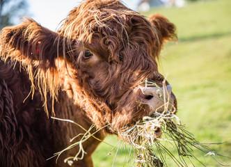 portrait of a cow in a field