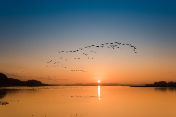 Spoed Fotobehang Zwaan 朝焼けの宮城伊豆沼渡り鳥の朝の飛び立ち