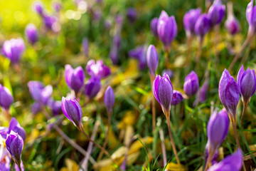 Photo sur Plexiglas Crocus Purple crocus in autumn park