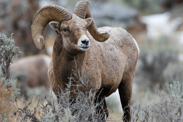 Tuinposter Schapen Rocky Mountain Bighorn Sheep in Montana