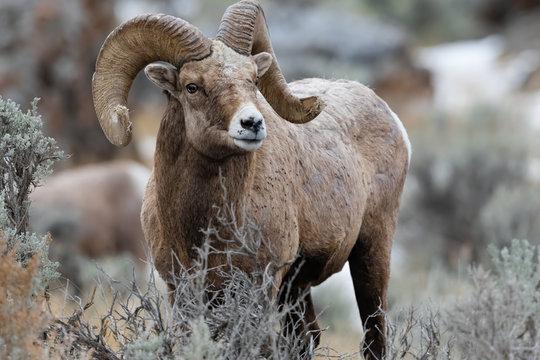 Rocky Mountain Bighorn Sheep in Montana