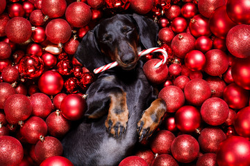 Foto op Plexiglas Crazy dog christmas santa claus dog and xmas balls or baubles as background