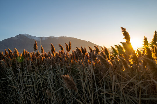Wetland reeds sway in the wind at golden hour near mountains