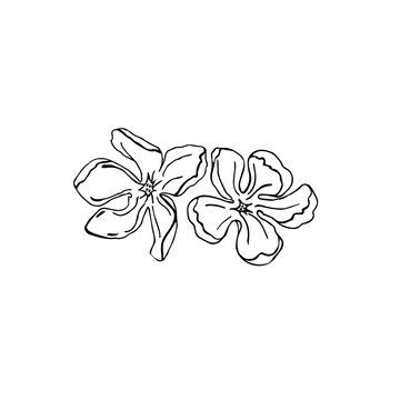 Magnolia liner hand drawn vector illustration two flower for card or logo