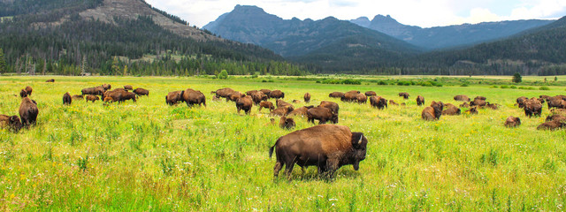 Printed roller blinds Bison Wild bison in Yellowstone National Park, USA